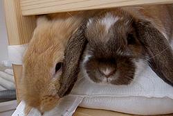 Hogyan neveljük szobatisztaságra a nyuszit?