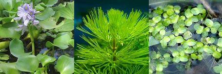 akvárium, vízinövény, karmosbéka