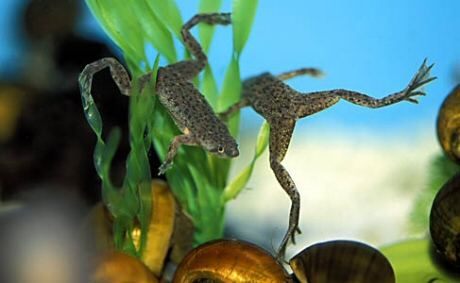 törpe karmosbéka, béka, akvárium