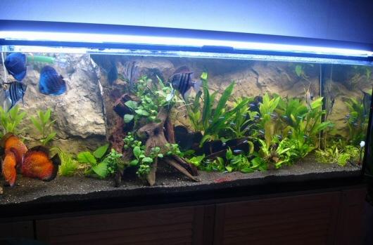 500 literes diszkoszos akvárium