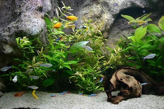 disznovenyek-az-akvariumban