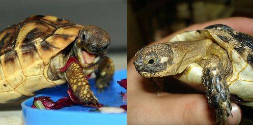 teknős, terrárium, hüllő