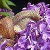 Csiga és orgona: 2008. május nyertes háziállat.hu-s fotója