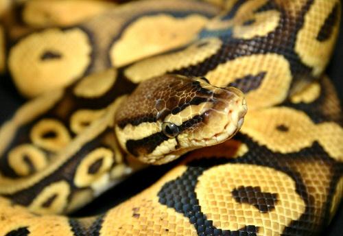 Királypiton, Python regius, kígyó, terrárium