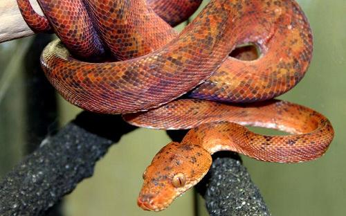 kígyó, boa, terrárium
