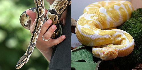 kígyó, királypiton, terrárium