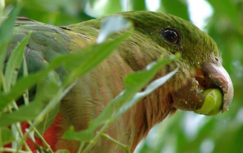 királypapagáj, papagáj, díszmadár