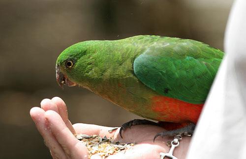 papagáj, királypapagáj, etetés