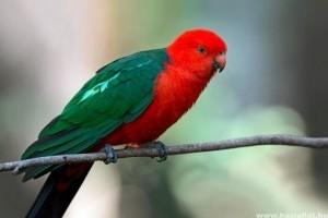 Királypapagáj: színes és beszédes