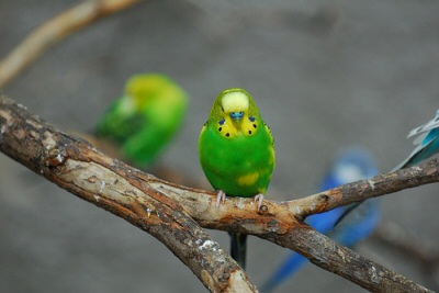 hullamos-papagaj-kep