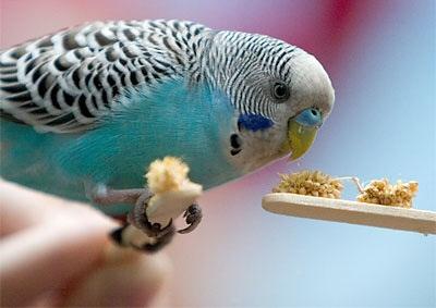 hullamos-papagaj-eszik