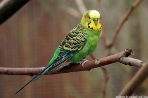 Hogyan építsünk külső röpdét a hullámos papagájnak?