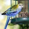 A Szotyorka-sztori: egy papagáj megmentése