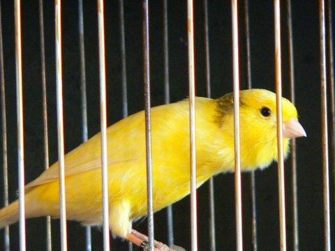A harzi-roller kanári bársonyosan gurgulázva énekel