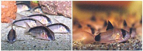 Akváriumi harcsák: Corydorasok