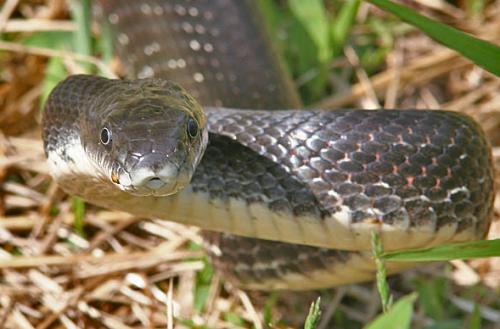 kígyó, párzás, kopuláció