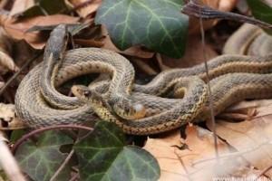 Hogyan párzik a kígyó?
