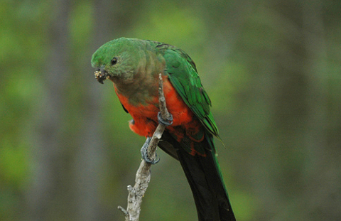 királypapagáj, papagáj, madár