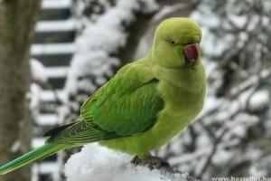 Papagájok teleltetése: láttál már hóban játszó papagájt?