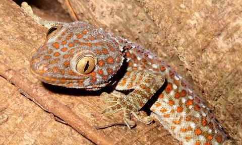 Tokee gekkó: agresszív, de gyönyörű