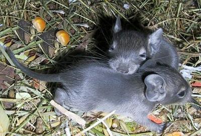 Ketrecválasztás: milyen rács mögött érzi jól magát a hörcsög, mókus, csincsilla?