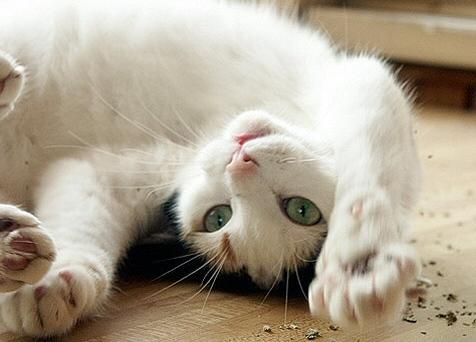 Izgatja, mint menta a macskát: kiváltja az ivarzási ösztönt