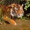 Tigriscsont és hiúzbőr - védett csempészáru