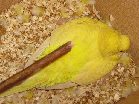 papagaj-kotlik