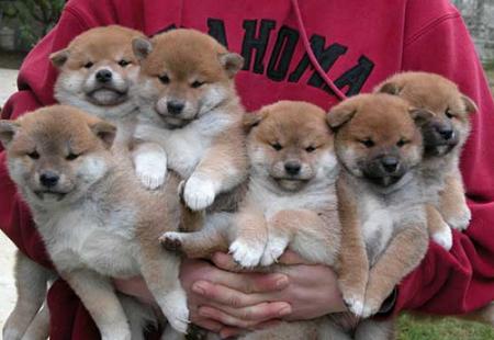 Kutyus kandikamcsi: meglesheted a Shiba inu családot mindenféle pózból