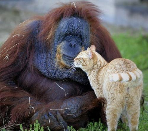 macska-es-orangutan