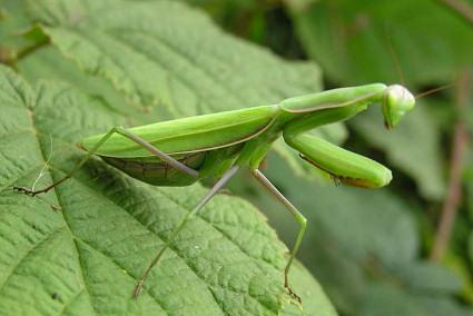 Mantis religiosa, sáska
