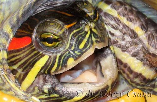ékszerteknős, teknős beteg