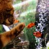 Széleshátú fogasponty: csodaszép hal meleg vízbe