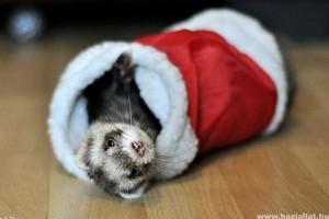 Hogyan karácsonyoznak a kíváncsi görények? - képekkel