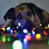 Nem tudod feldíszíteni a karácsonyfát? Nézd meg, hogyan csinálják a kutyák! - videó