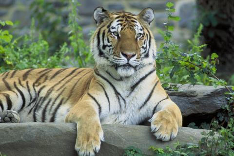 malaj-tigris