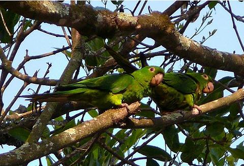 szép, pávua papagáj, madár