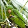 Pávua papagáj: feltűnően kedves madár