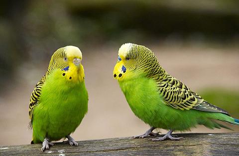 madár, papagáj, vásárlás