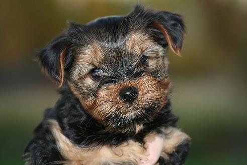 yorkshire-terrier-kiskutya