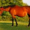 Vemhesség időszakában meddig lehet lovagolni a lovat?