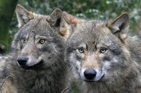 Illegális sípályák veszélyeztetik Európa legnagyobb barnamedve-, hiúz- és farkas-populációját