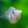 Milyen növényt lehet az akváriumba tenni, amit nem esznek meg a halak?