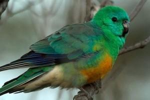 Teleltethetem nyitott volierben az énekes papagájt?