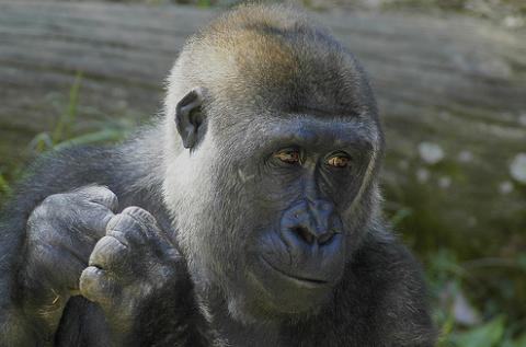 2009 a gorilla éve