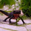 Kínai tűzhasú gőte (Cynops orientalis): barátságos sárkányka