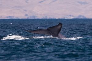 Jól járnak a japán bálnavadászok?