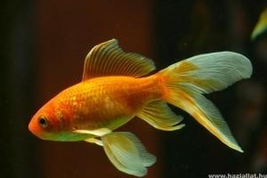 Milyen az ideális akvárium az aranyhalak számára?