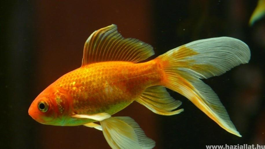 Aranyhal tartása, gondozása csak méretes akváriumban