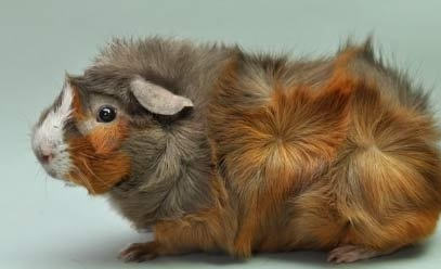 abyssinian-guinea-pig